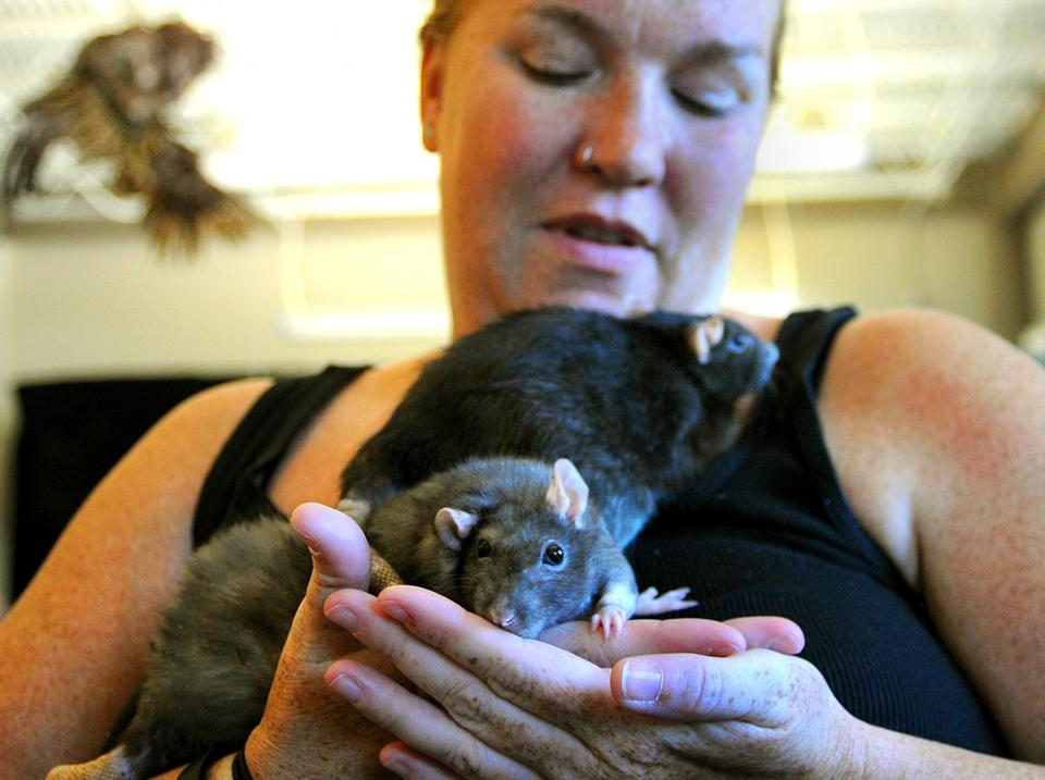 Stefanie Farrell of Millis holds two of her pet rats, Blitzy and Petunia, as they wait to see the vet